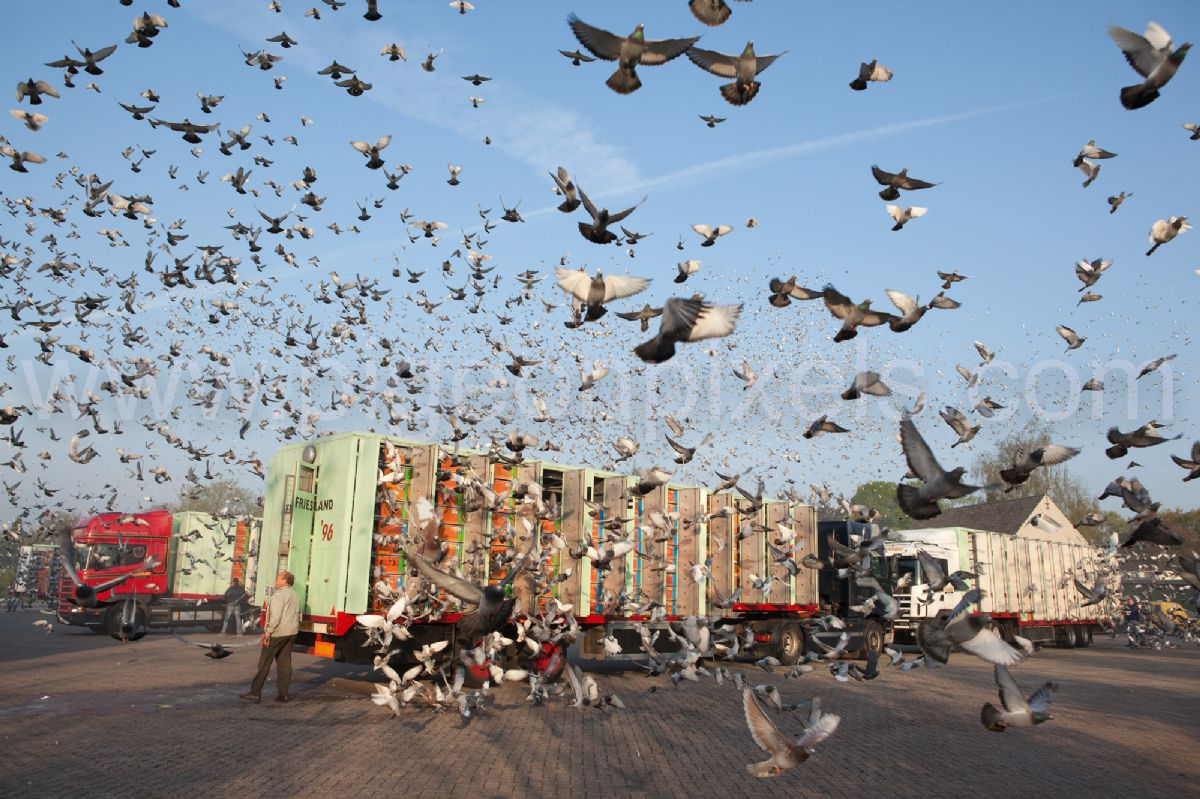 7th NPO Bourges 4,443 pigeons